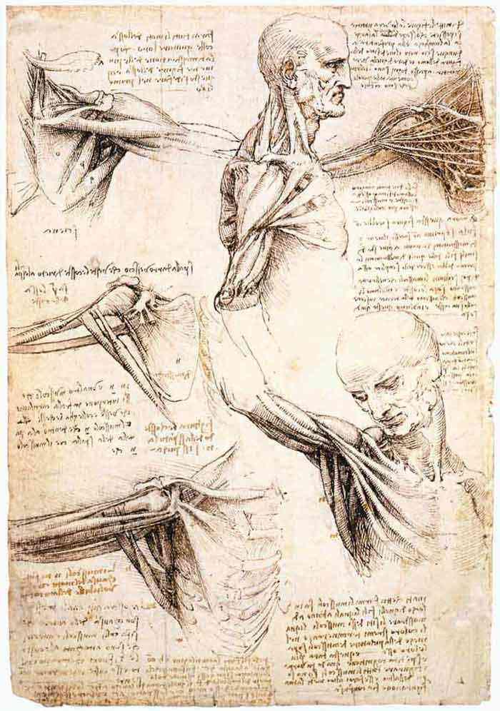 Leonardo da Vinci - Estudos anatômicos do ombro